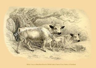 White Urus, or Hamilton Breed of Wild Cattle (Taurus Urus) Native of Scotland